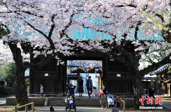 日本气象厅宣布东京樱花开放 比往年提早9天(图)
