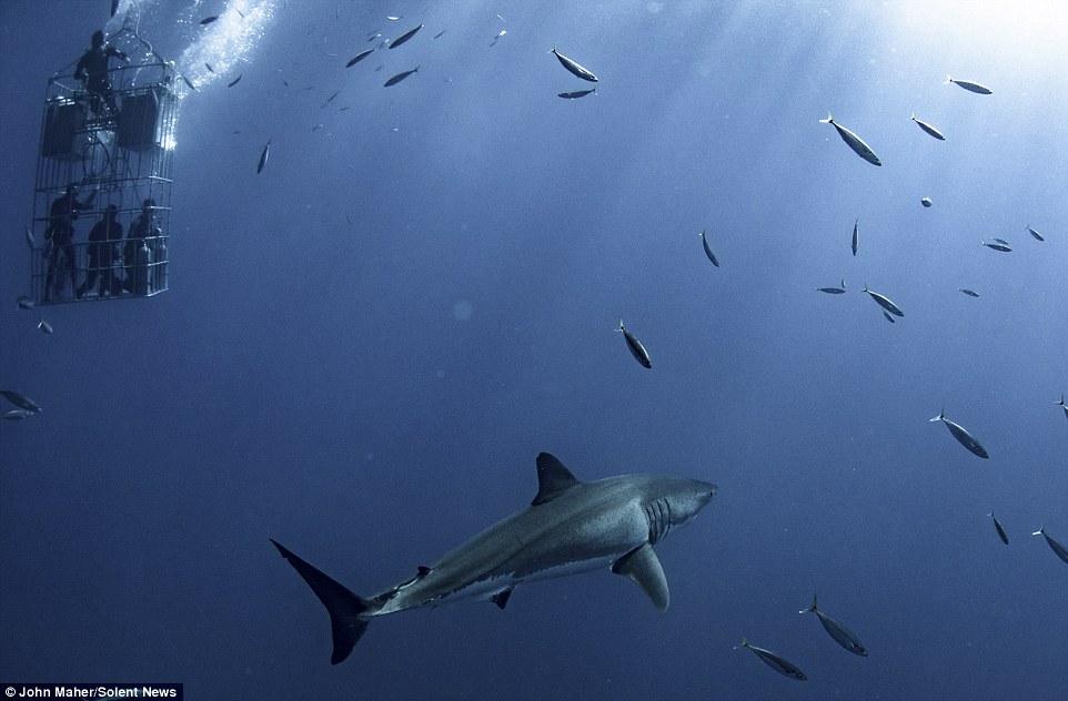 摄影师拍6米长巨型大白鲨 潜水员好似小矮人
