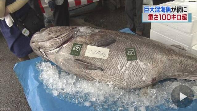 日本捕获110公斤巨型深海鱼 将被做成200人份生鱼片