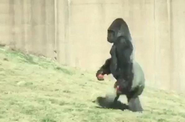 好笑!美国一大猩猩为保持双手清洁直立行走