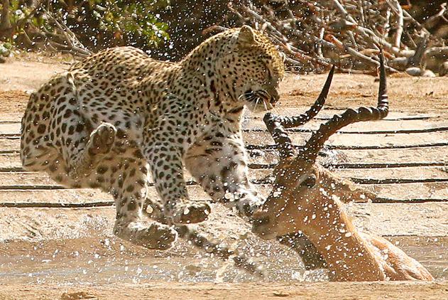 残酷自然法则:看动物猎食厮杀精彩瞬间