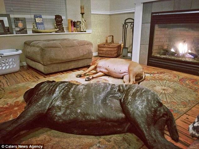 美国一宠物犬身高达1.8米 类似7000年前战斗犬