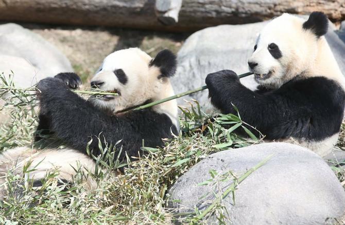 加多伦多熊猫即将移馆 悠闲享受阳光竹子
