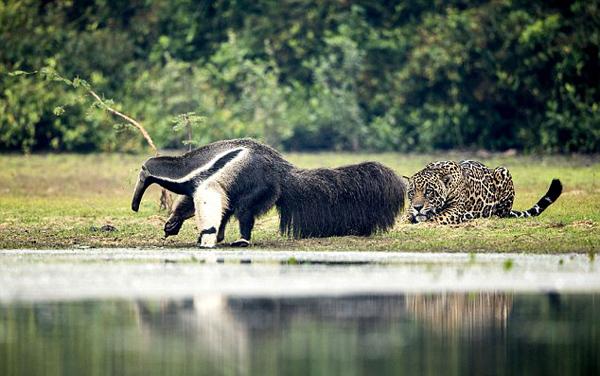 不可思议!美洲豹遇见食蚁兽后不为所动