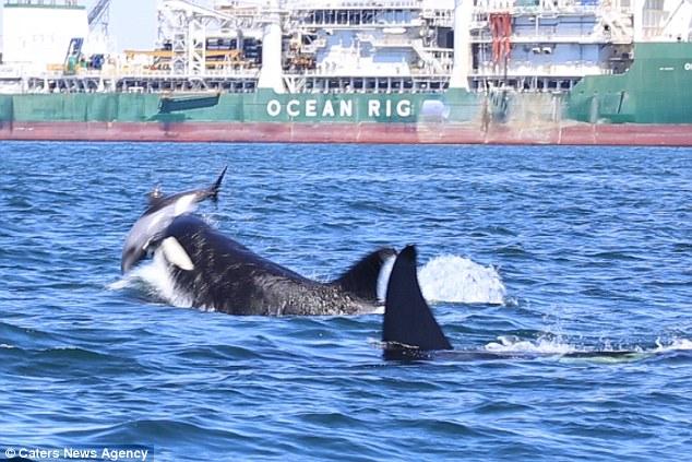 镜头记录两只虎鲸轮番攻击海豚 海豚死状十分凄惨