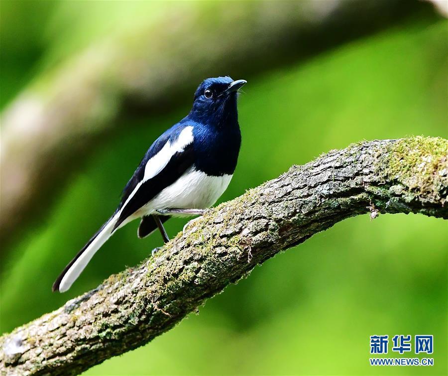 古树,春鸟