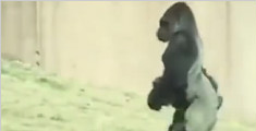 大猩猩怕弄脏手直立行走