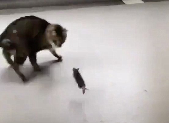 老鼠转守为攻吓跑猫咪 犹如动画片场面