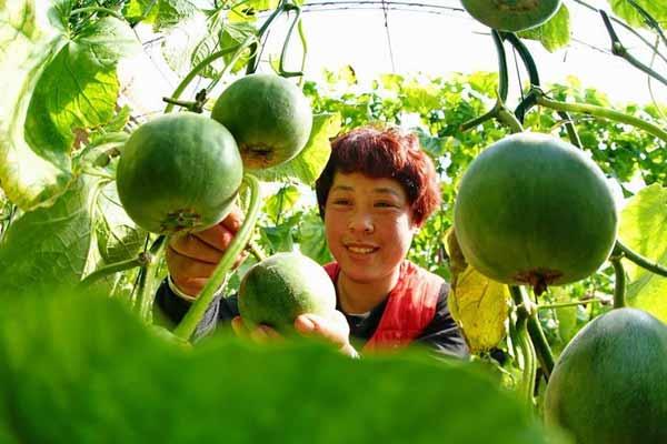 河北乐亭:甜瓜飘香富农家
