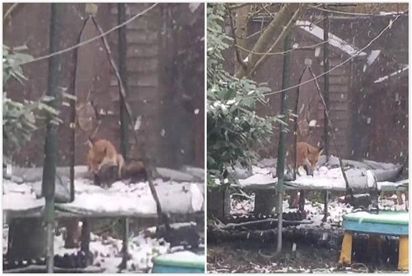 可爱!英居民抓拍到狐狸雪中玩蹦床画面