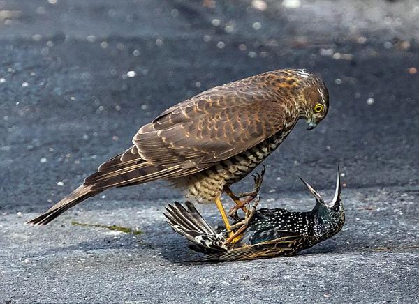 精彩一瞬!可怜燕八哥被饥饿雀鹰压倒在地
