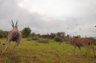 摄影师以猎豹视角拍下其惊险捕猎场面
