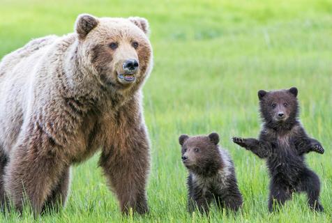 美国小熊镜头前耍宝卖萌 模样憨态可掬