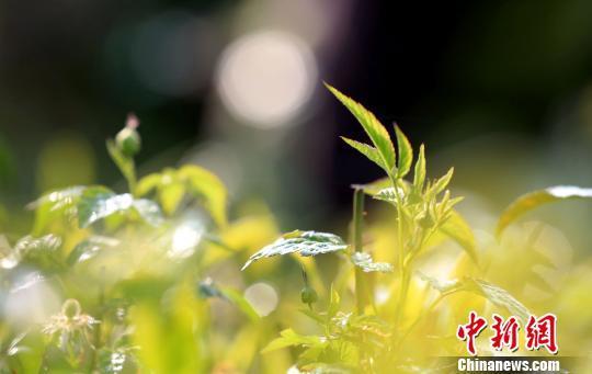 春茶吐新芽 广西北部茶农忙采撷