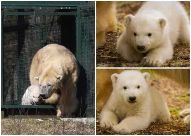 英国25年来首只境内出生北极熊初次公开亮相