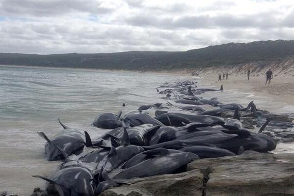 150头短鳍领航鲸搁浅澳大利亚海滩
