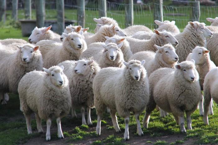 """科学家从新西兰绵羊身上发现毛发卷曲的""""秘密"""""""