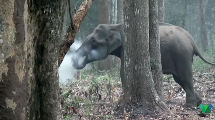 印度科学家捕捉到大象神秘吐出烟雾的画面