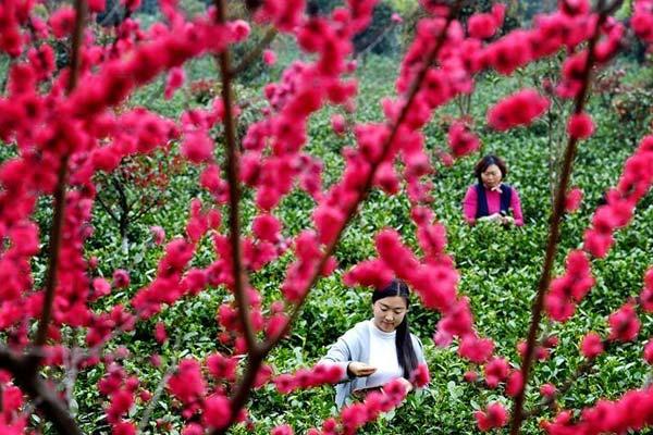 陕西平利:春采新芽绿满溢