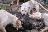 越南众人教唆猎犬撕咬野猪 残忍引众怒