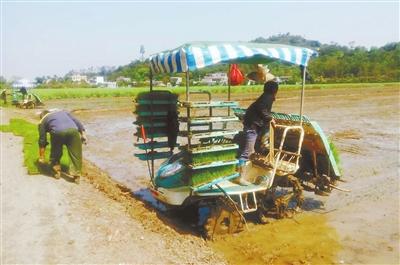 珠海在全国率先实施无人机水稻莲藕作业