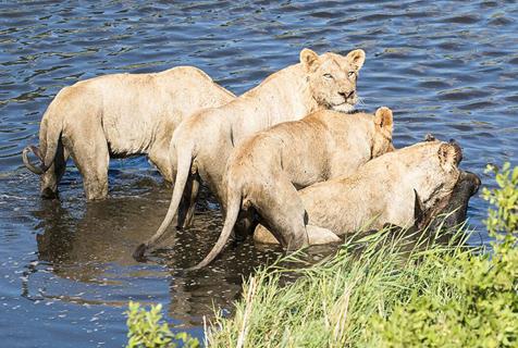 南非落单角马势单力薄遭四只饥饿母狮捕杀