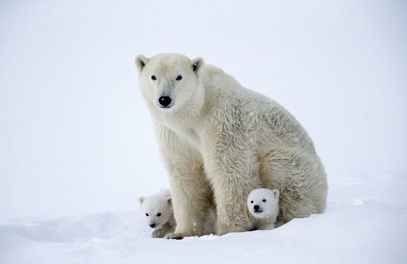加拿大小北极熊粘着妈妈嬉戏憨萌模样惹人爱