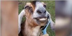 山羊被梳毛就咧嘴笑不停