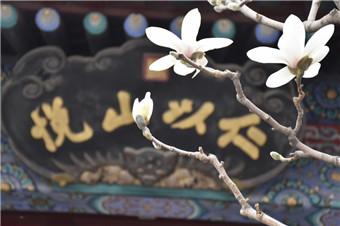 颐和园玉兰花进入盛花期 众多游客前来观赏