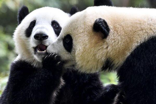 广州大熊猫双胞胎断母乳开始独立生活