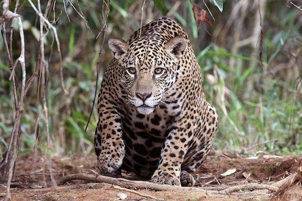 研究:手机信号不好 美洲豹会生活得更好