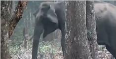 """大象藏身森林大口""""抽烟"""""""