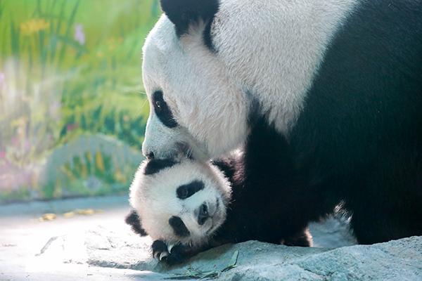 上海又添两只熊猫宝宝,5月大的他们萌萌哒