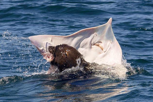 """南非海豹捕食黄貂鱼凶猛异常 猎物""""面露惊恐"""""""