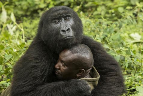 刚果大猩猩霸道总裁上身 揽饲养员熊抱
