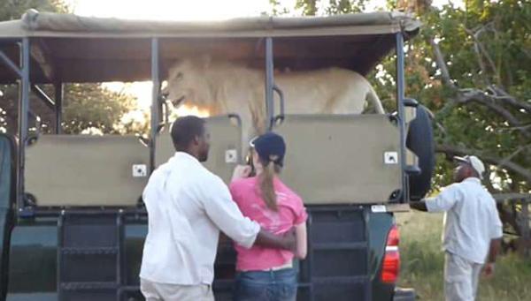 南非白狮跳上观光车游客吓得惊慌失措