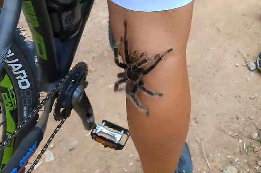 """后怕!巴西一女子骑行时遭受狼蛛""""袭击"""""""