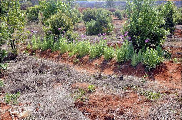 两名村民种千株罂粟被拘:不知是啥 听说能治百病