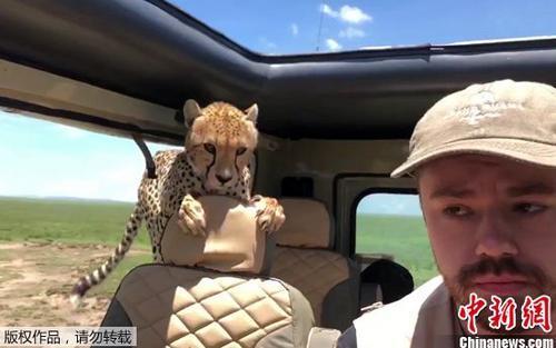 屏住呼吸!猎豹跳进了游览车 向导:别乱动 别看它(图)