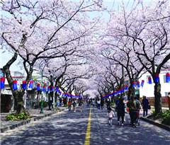 韩国:二十里樱花路洒满浪漫和爱