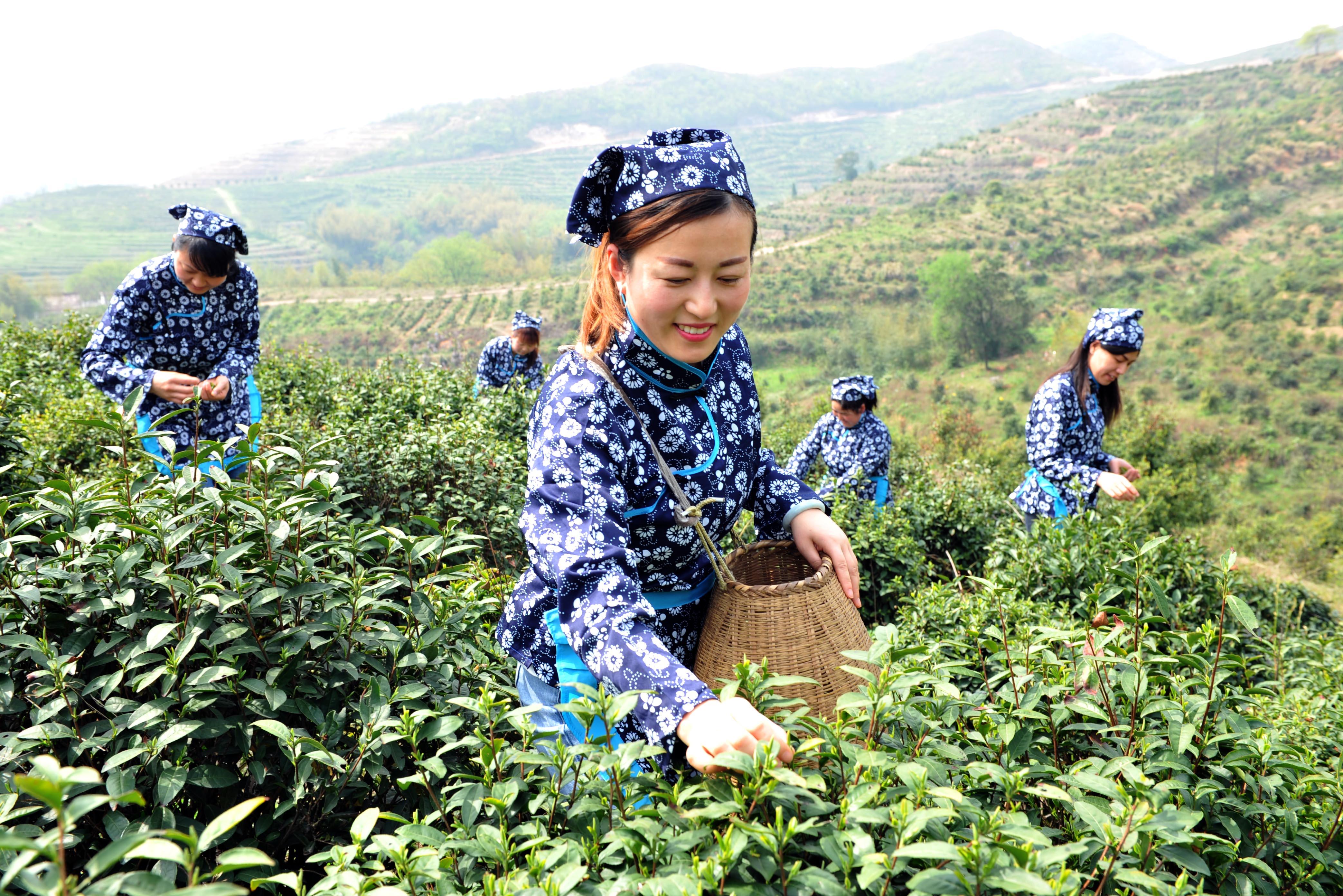 安徽庐江:龙头企业动员茶农脱贫致富