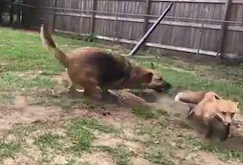 美淘气牧羊犬追捕家养狐狸反被反复捉弄