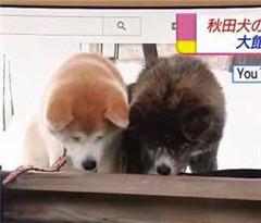 秋田犬带你游日本!谷歌街景上线秋田犬视角全景观光地图