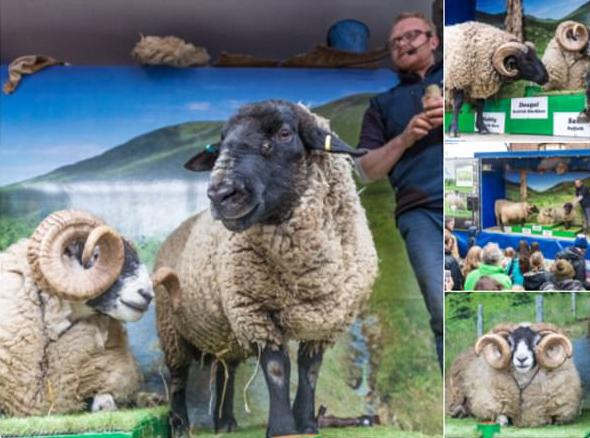 英国一绵羊出逃闯进超市 横冲直撞吓坏顾客