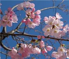 研究人员新发现有望让樱花每年多开一次 备受旅游业青睐