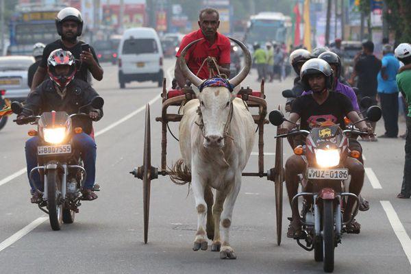 """斯里兰卡举行传统奔牛节 霸气牛车获摩托""""护航""""公路狂奔"""