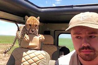 坦桑尼亚一猎豹跳进观光车 游客恐慌中强作镇定