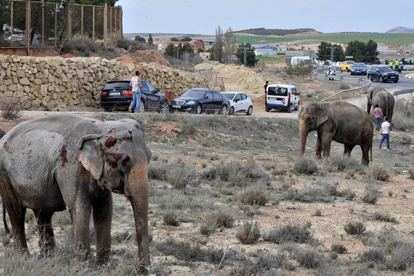 马戏团卡车发生翻车事故 大象被摔得头破血流