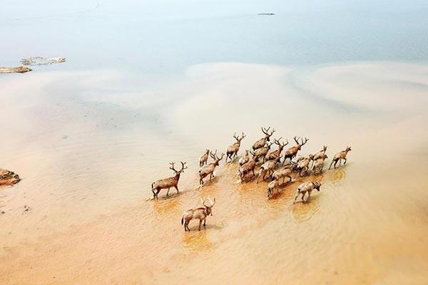 江西首次在鄱阳湖湿地野放麋鹿
