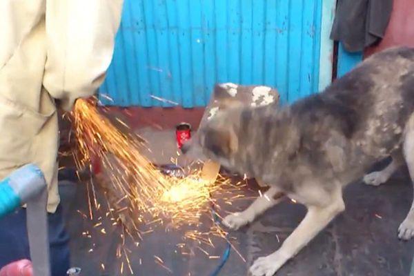 厉害了二狗子!外国狗狗狂吃电锯花火超惊险